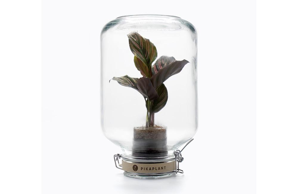 Jar Calathea ornata